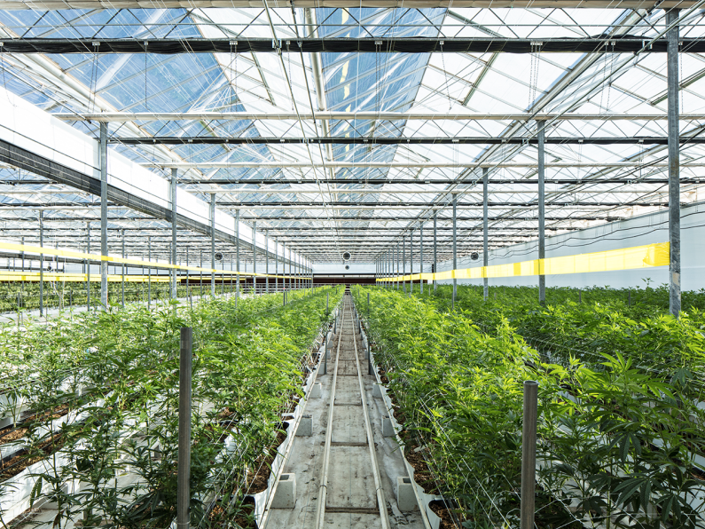 cannabis plants in greenhouse