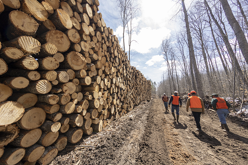 Cut and standing aspen trees