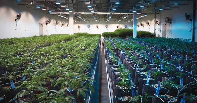 cannabis nursery