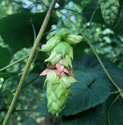 hop with halo blight
