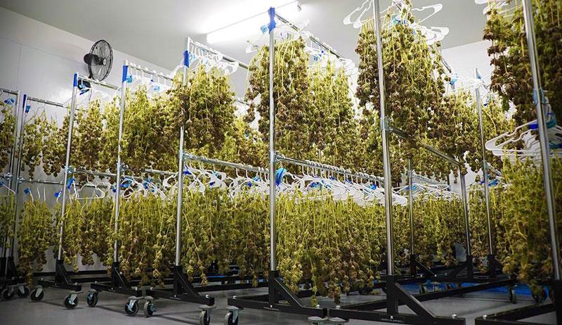 Post harvest cannabis